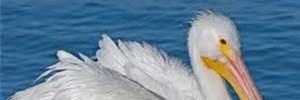 Pelican Isle POA